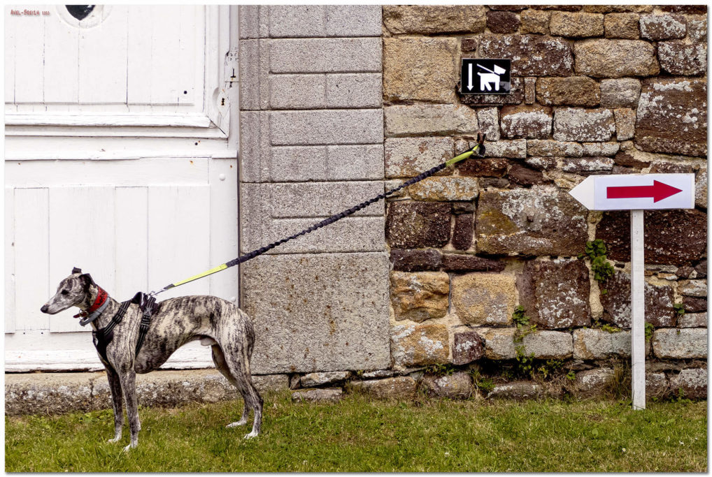 what is a blue brindle whippet?