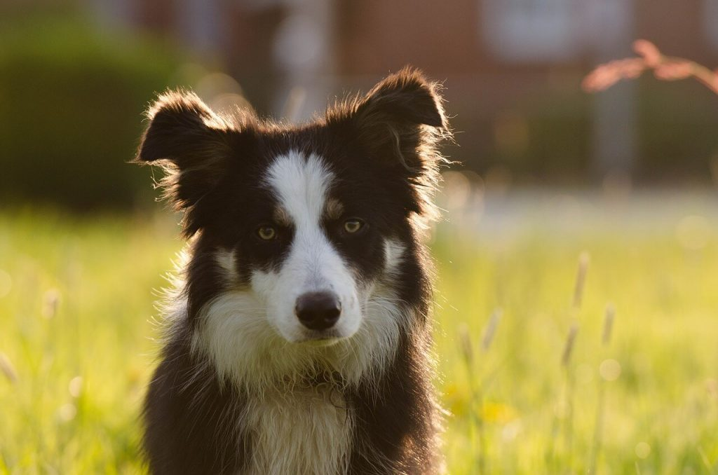 whippet border collie mix