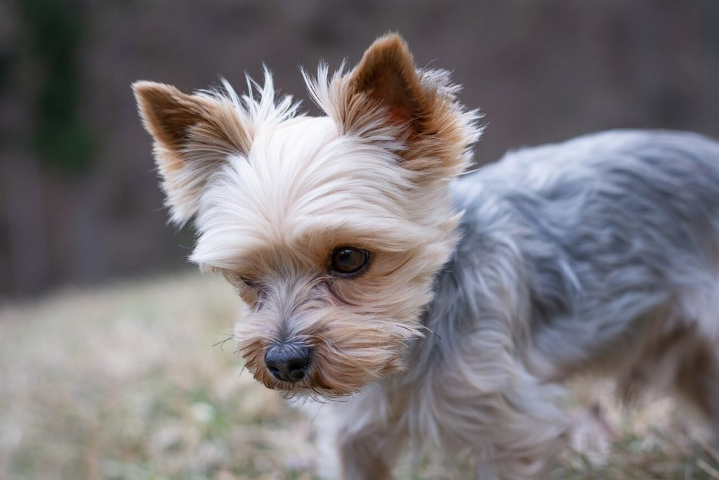 whippet yorkie mix