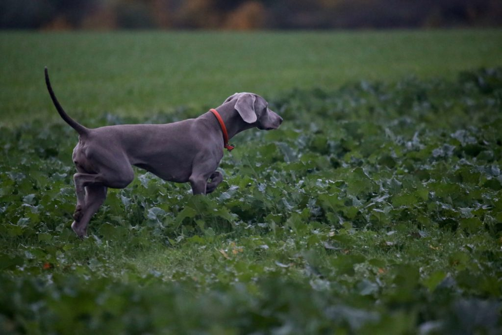 whippet pointer mix