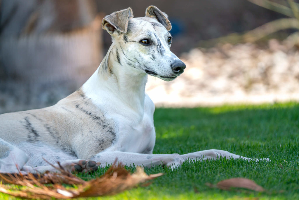 when should a whippet be neutered?