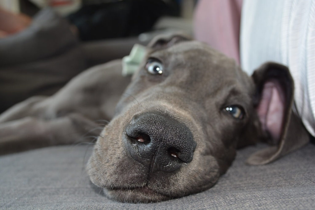 whippet great dane mix
