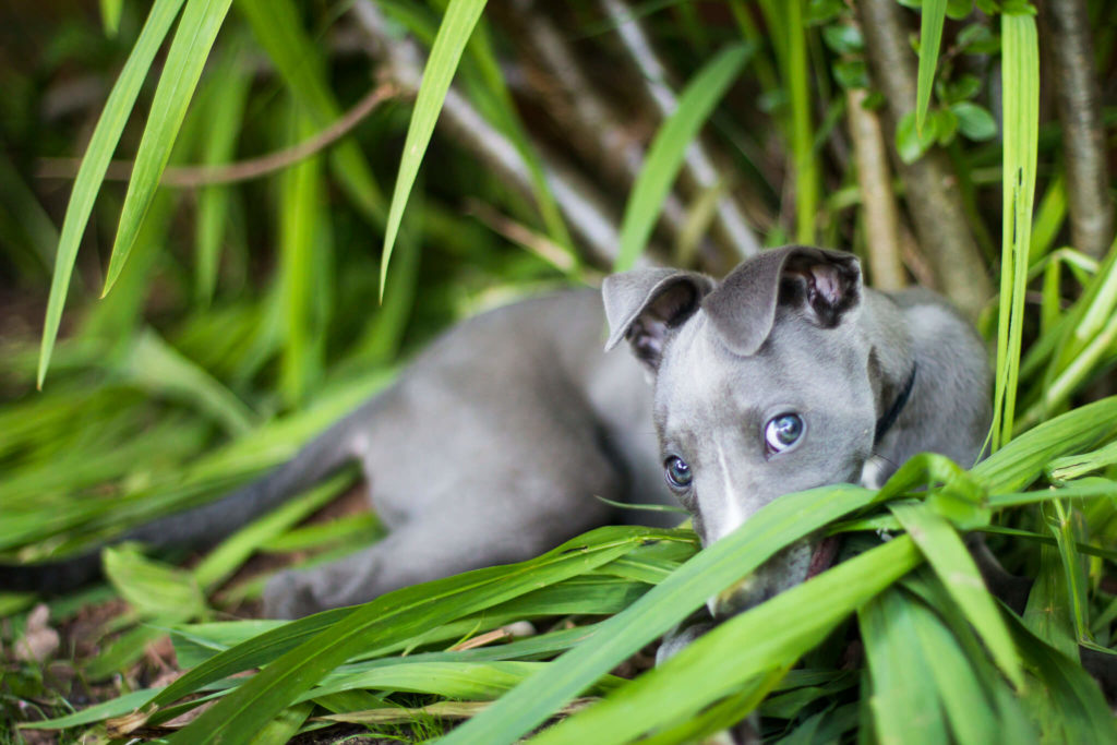 whippet puppies