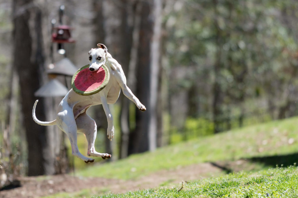 how to measure a whippet