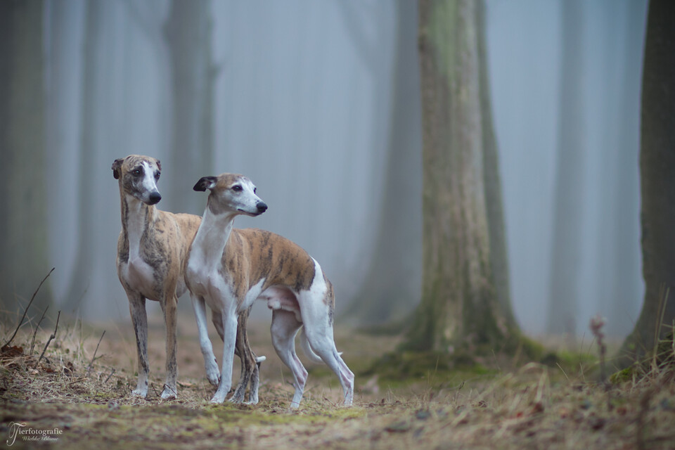 whippet studs