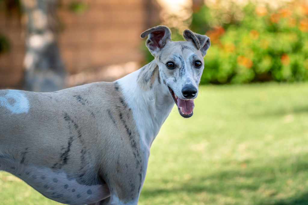 whippet kennel cough