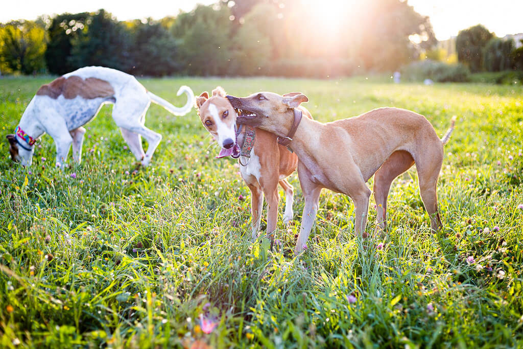 fawn whippets