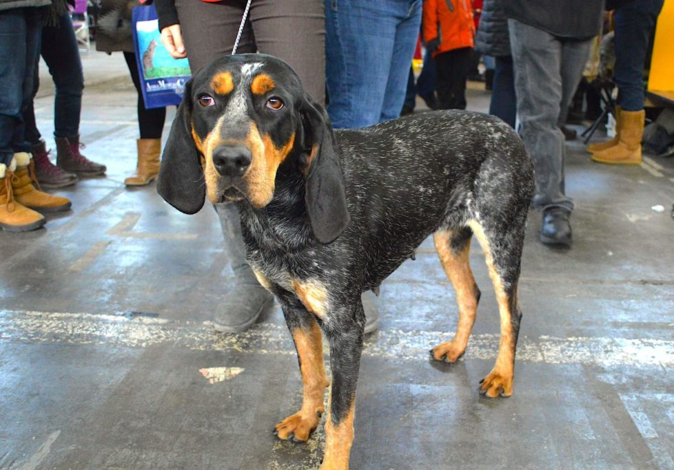 whippet coonhound mix