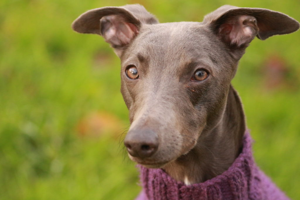 brown whippets