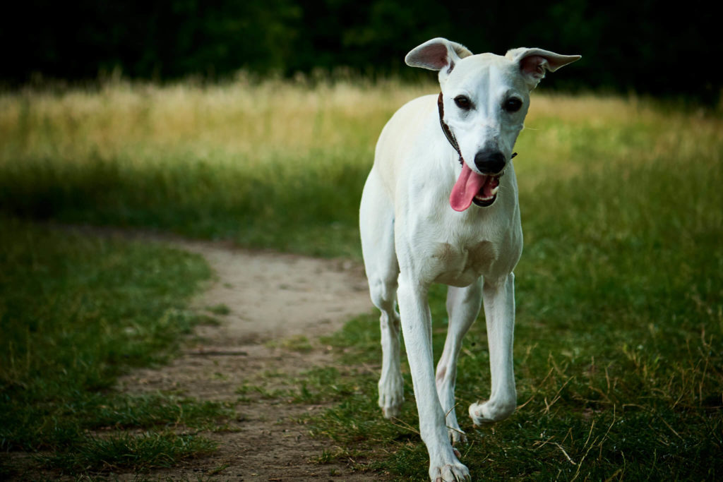 white whippets