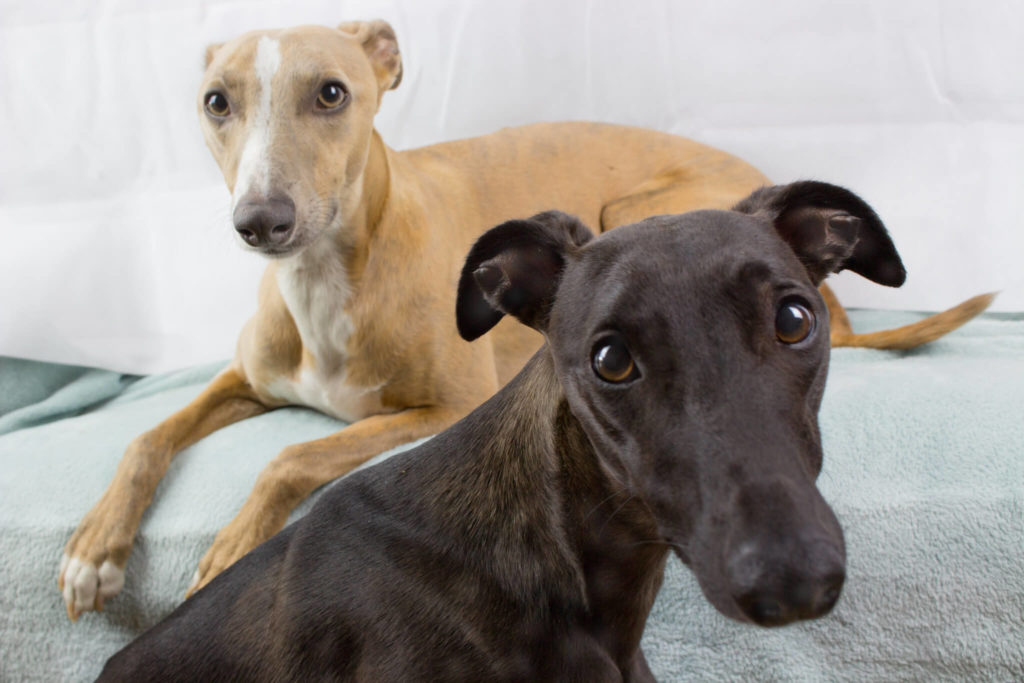 best gps trackers for whippets