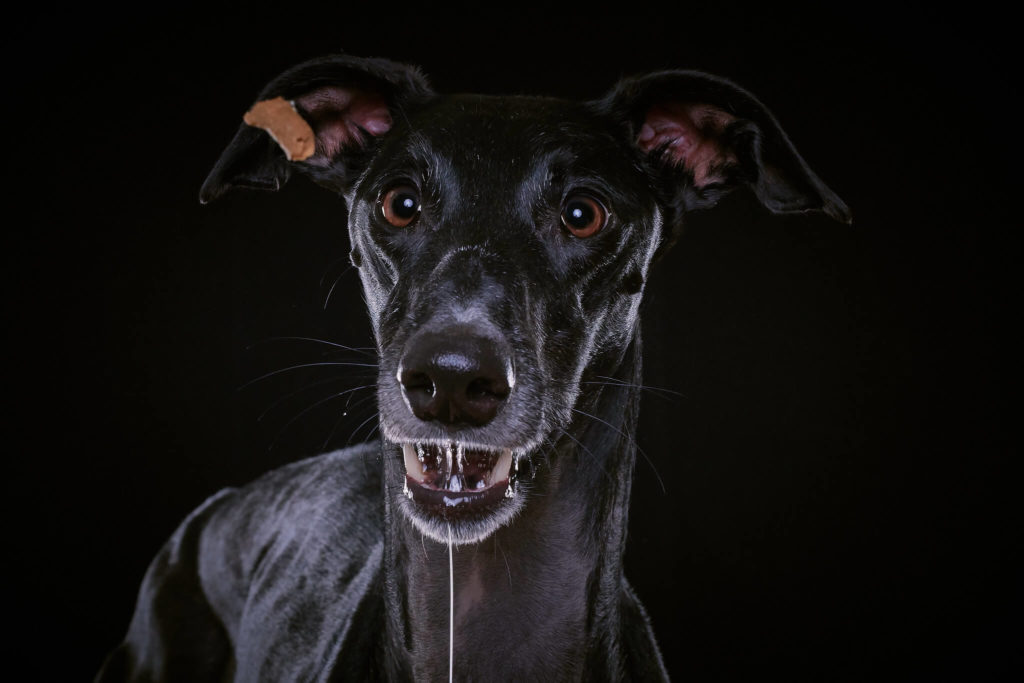 black whippets