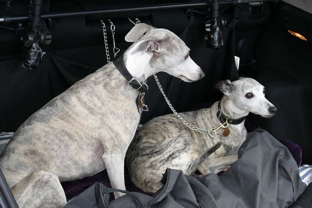 whippet car sickness
