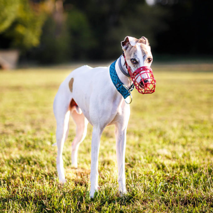 whippet coursing