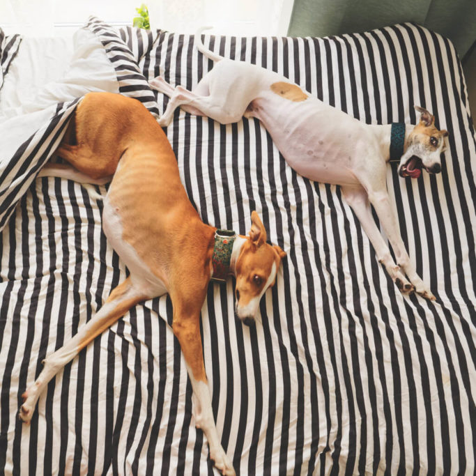 should you let your whippet sleep in your bed