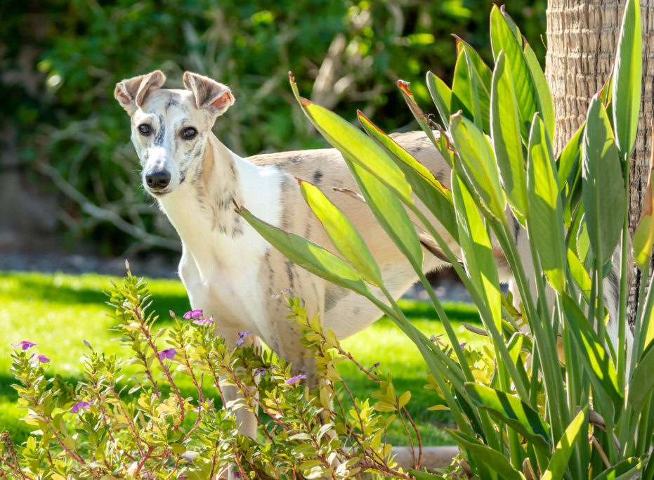 how to manage a clingy whippet
