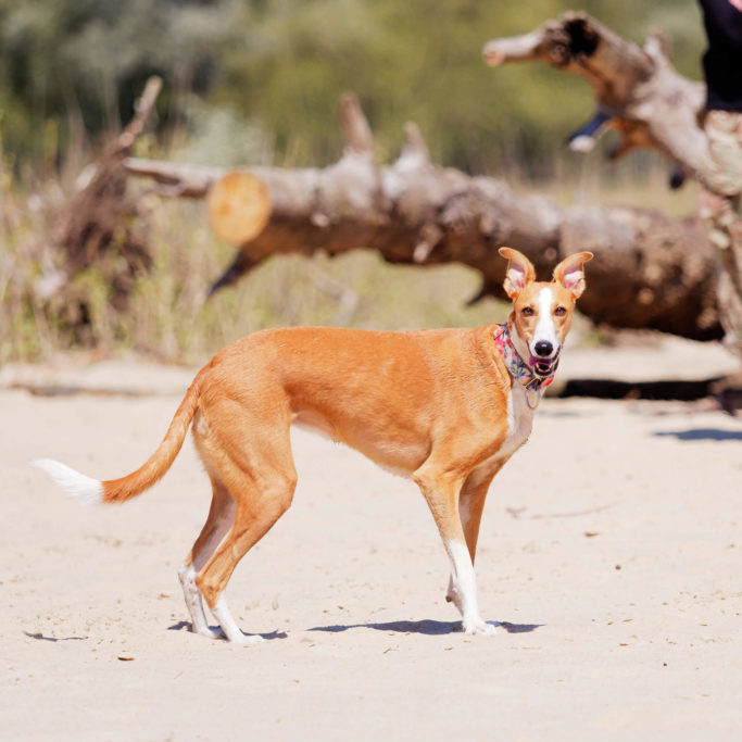 red whippets