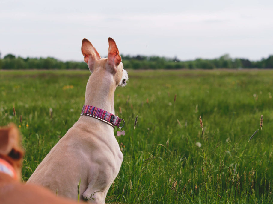why do whippets need special collars