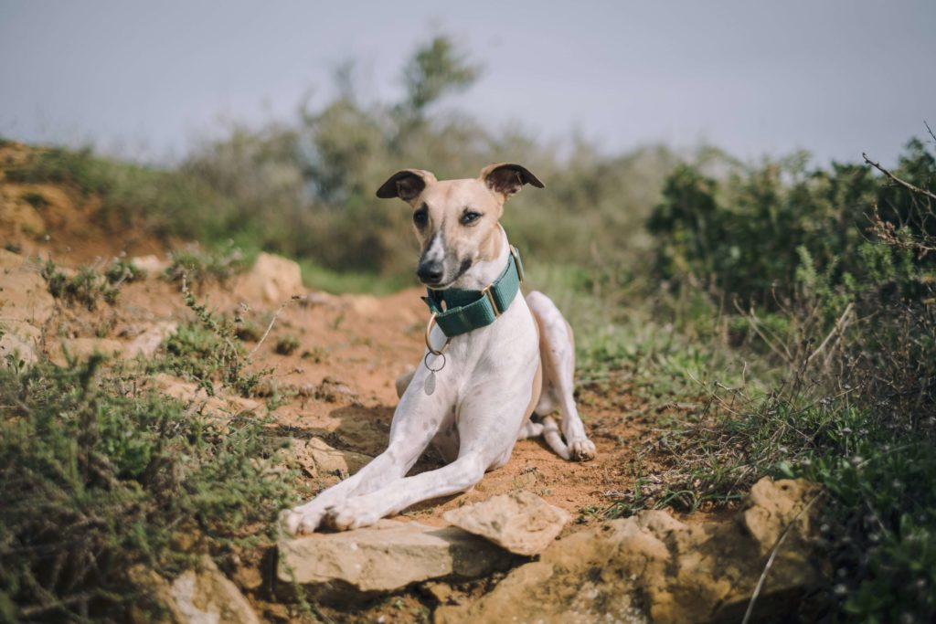what are the best companion dogs for whippets
